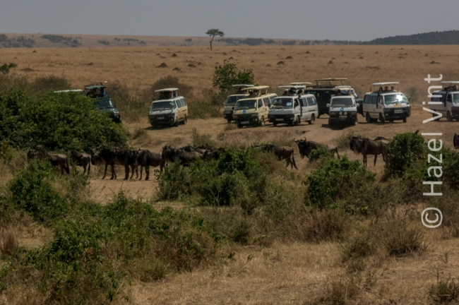 Maassi.Mara.Kenya.Africa.safari.migration.bigfive.wildlife.rivercrossing.disappointment.hazel.vint.hazey.photography-90